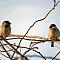 Kaks lindu kord istusid...