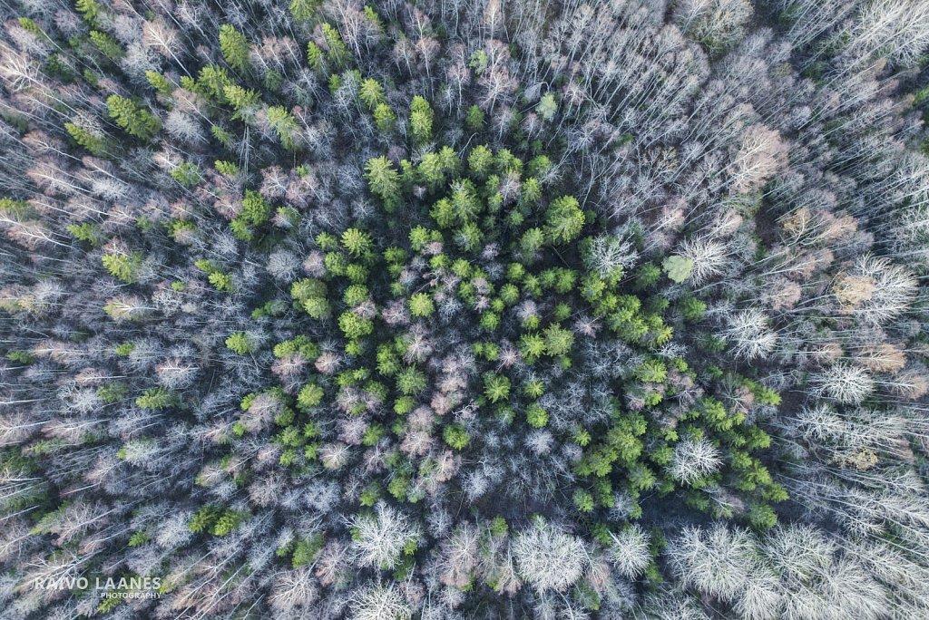 Kuused keset raagus puid